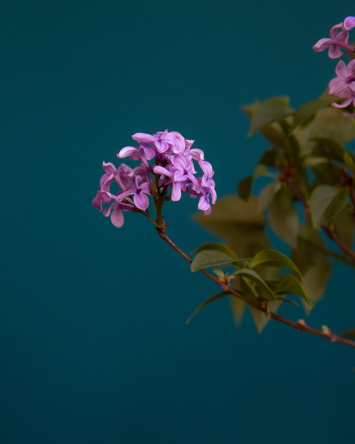 lilac flower still life photography